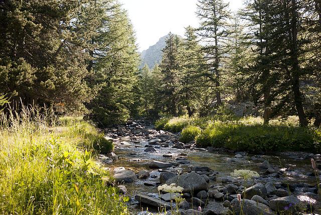 rivière qui coule au milieu d'une forêt de pins