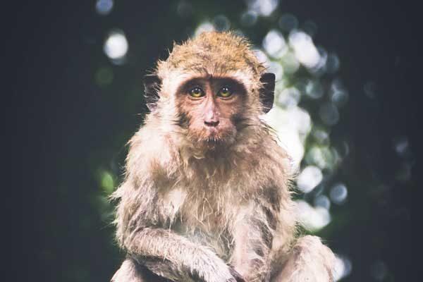 singe en pleine reflexion dans la forêt
